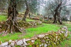 Olivträd i höst i Valdanos, Ulcinj, Montenegro royaltyfria foton