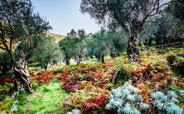 Olivträd i höst i Valdanos, Ulcinj, Montenegro royaltyfri bild