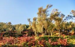 Olivträd i höst i Valdanos, Ulcinj, Montenegro royaltyfri fotografi