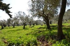 Olivträd i norden av Israel Arkivfoto