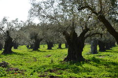 Olivträd i norden av Israel Royaltyfri Bild