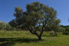 Olivträd i solen Fotografering för Bildbyråer