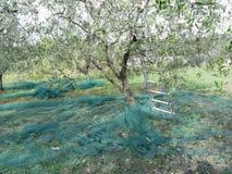 Olivträd i trädgården med metallstegebenägenhet mot trädet och precis valda oliv på det netto under skördtid tuscan Arkivfoton