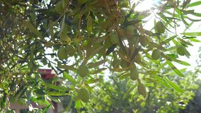 Olivträd i trädgården och den ljusa solstrålen arkivfilmer