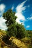 Olivträd lång exponering som gör suddig molnen Arkivfoto
