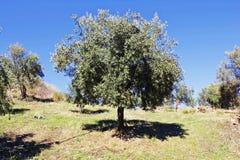 Olivträd med Koroneiki variationsoliv i Kalamata, Grekland arkivbilder