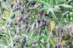 Olivträd med oliv Arkivfoton