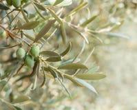 Olivträd med skördar Arkivfoton
