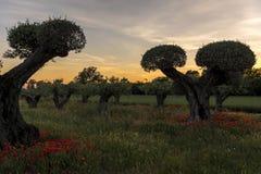 Olivträd med vallmo Royaltyfri Foto