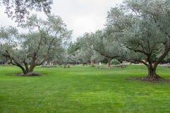 Olivträd och gräsmatta i ett exotiskt parkerar Royaltyfria Bilder