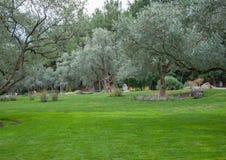 Olivträd och gräsmatta i ett exotiskt parkerar Royaltyfri Foto