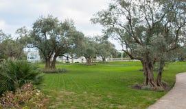 Olivträd och gräsmatta i ett exotiskt parkerar Fotografering för Bildbyråer