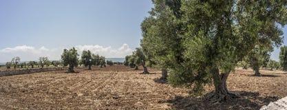 Olivträd och plogade fält Arkivbild