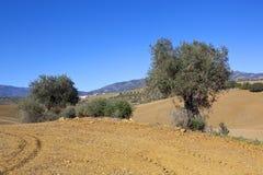 Olivträd och plogjord royaltyfria foton
