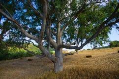 Olivträd på Kreta, Grekland arkivbild