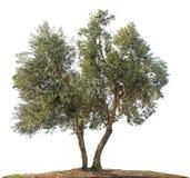 Olivträd på vit arkivbild