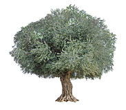 Olivträd på vit arkivfoto