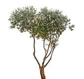 Olivträd på vit bakgrund royaltyfria bilder