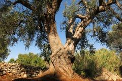 Olivträd under ljus blå himmel Royaltyfri Foto