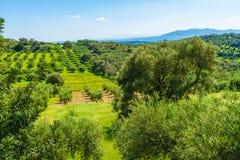 Olivträddungelandskap i den medelhavs- ön av Kreta, Grekland Royaltyfria Bilder