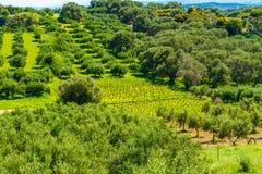 Olivträddungelandskap i den medelhavs- ön av Kreta, Grekland Royaltyfri Bild