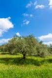 Olivträddungelandskap i den medelhavs- ön av Kreta, Grekland Royaltyfri Fotografi