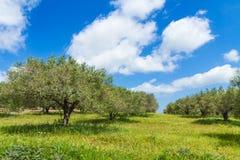 Olivträddungelandskap i den medelhavs- ön av Kreta, Grekland Arkivbild