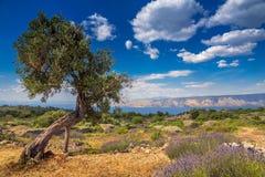 Olivträdet bland lavendelfält på den Hvar ön Royaltyfria Bilder