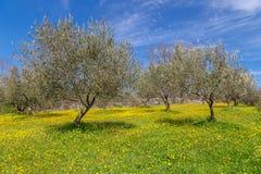 Olivträdfält Royaltyfri Bild