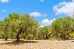 Olivträdfält med röd jord arkivfoton