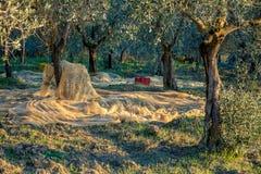 Olivträdkoloni i plockningtid arkivfoton