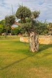 Olivträdstaden parkerar Kiti Larnaca Cyprus Arkivfoto