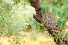 Olivträdträdgård royaltyfria foton