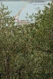 Olivtr?d i den medelhavs- milj?n royaltyfri fotografi