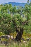 Olivträdet bakom fördärvar av gammal kyrka i Toroni Fotografering för Bildbyråer