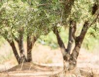 Olivträdträdgård Fotografering för Bildbyråer