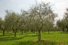 Olivväxter Royaltyfri Foto