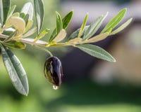 Oliwa z oliwek krople od oliwnej jagody zdjęcie stock