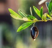 Oliwa z oliwek krople od oliwnej jagody zdjęcia stock