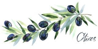 oliwka Oliwek gałąź Gałązki Oliwne z oliwkami ilustracja wektor