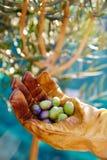 Oliwki żniwa zrywania ręki przy Śródziemnomorskim Zdjęcia Stock
