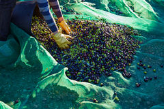 Oliwki żniwa zrywania ręki przy Śródziemnomorskim Fotografia Stock