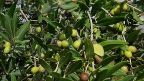 Oliwki drzewa plantacja Organicznie oliwki r na drzewie oliwnym Rolnictwo i oliwki kultywacja Inscenizowanie ekstra dziewicza oli zbiory wideo