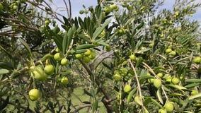Oliwki drzewa plantacja Organicznie oliwki r na drzewie oliwnym Rolnictwo i oliwki kultywacja Inscenizowanie ekstra dziewicza oli zdjęcie wideo
