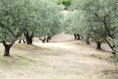 Oliwki drzewa pole w Grecja, Halkidiki, Śródziemnomorski krajobraz Zdjęcia Royalty Free