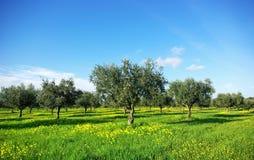 Oliwki drzewne w zieleni polu przy Portugalia. Obrazy Royalty Free