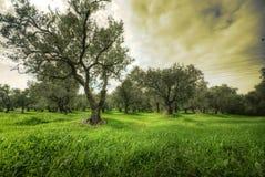 Oliwki drzewne w zielenieją śródpolnego i dramatycznego niebo Fotografia Royalty Free