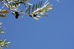 Oliwki drzewo z czarnymi oliwkami w słonecznym dniu obraz stock