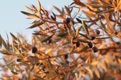 Oliwki i drzewo oliwne zdjęcie royalty free