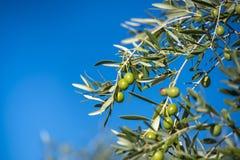 Oliwki na drzewie oliwnym w jesieni. Sezon natury wizerunek obraz stock